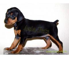 Miniature pinscher puppy  for sale in Bhopal Best Price