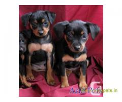 Miniature pinscher puppy  for sale in Chennai Best Price