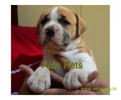 pitbull puppy for sale in Nashik best price