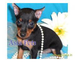 Miniature pinscher puppy  for sale in Gurgaon Best Price