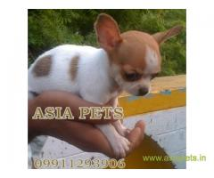 Chihuahua puppies  for sale in Gurgaon on Best Price Asiapets