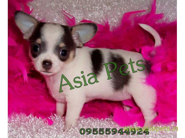 Chihuahua puppies  for sale in Jaipur on Best Price Asiapets