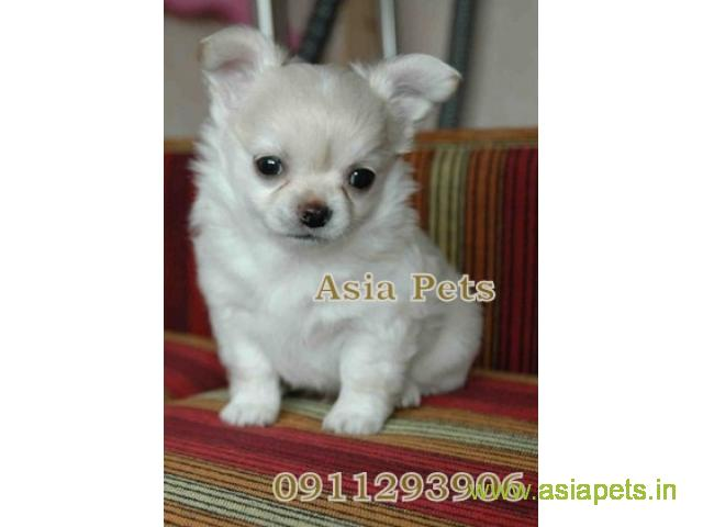 Chihuahua puppies  for sale in Ranchi on Best Price Asiapets