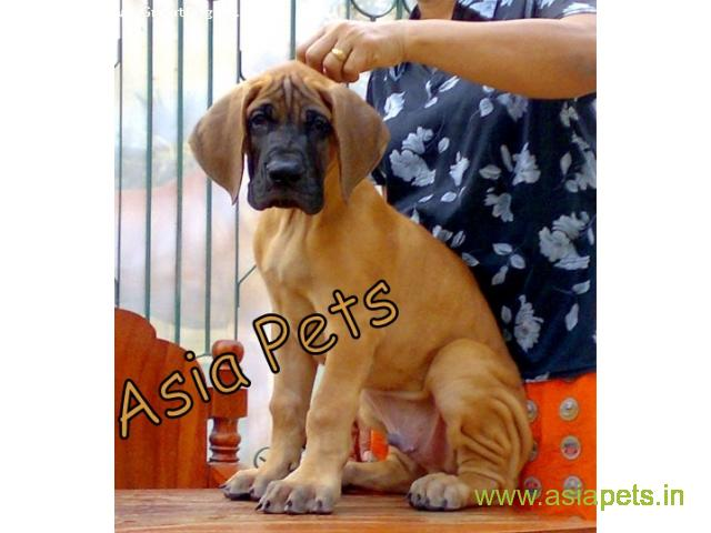 great dane puppies for sale in Bangalore on best price asiapets