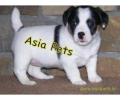 Jack russell terrier puppies  for sale in Ghaziabad on Best Price Asiapets