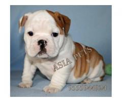 Bulldog puppies price in Bhopal , Bulldog puppies for sale in Bhopal