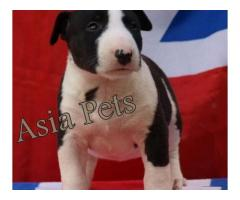 Bullterrier puppies price in Bhopal , Bullterrier puppies for sale in Bhopal