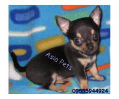 Chihuahua puppies price in Bhopal , Chihuahua puppies for sale in Bhopal