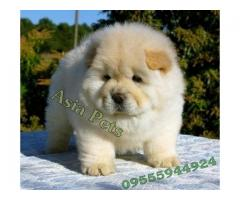 Chow chow puppies price in Bhopal , Chow chow puppies for sale in Bhopal