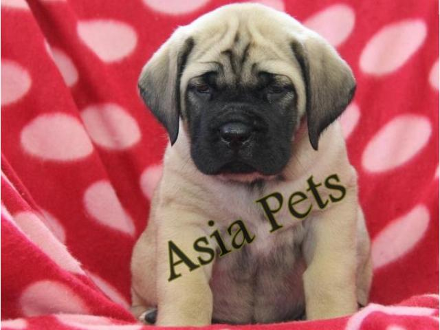 English Mastiff puppies price in Bhopal , English Mastiff puppies for sale in Bhopal