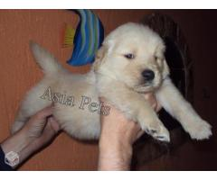 Golden retriever puppies for sale in Bhopal , Golden retriever puppies for sale in Bhopal