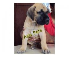 Great dane puppies price in Bhopal , Great dane puppies for sale in Bhopal