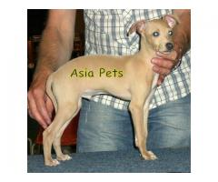 Greyhound puppies price in Bhopal , Greyhound puppies for sale in Bhopal
