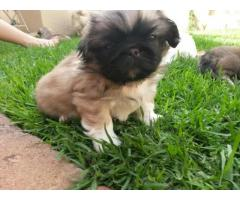 Lhasa apso puppies price in Bhopal , Lhasa apso puppies for sale in Bhopal