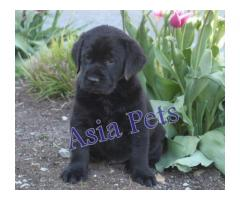 Labrador puppies price in Bhopal , Labrador puppies for sale in Bhopal