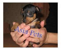 Miniature pinscher puppies price in Bhopal , Miniature pinscher puppies for sale in Bhopal