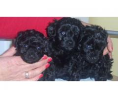 Poodle puppies price in Bhopal , Poodle puppies for sale in Bhopal