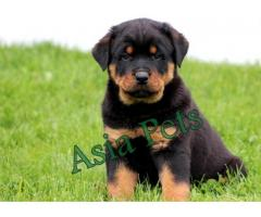 Rottweiler puppies price in Bhopal , Rottweiler puppies for sale in Bhopal