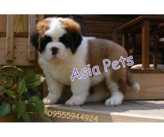 Saint bernard puppies price in Bhopal , Saint bernard puppies for sale in Bhopal