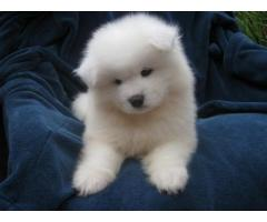 Samoyed puppies price in Bhopal , Samoyed puppies for sale in Bhopal