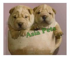 Shar pei puppies price in Bhopal , Shar pei puppies for sale in Bhopal