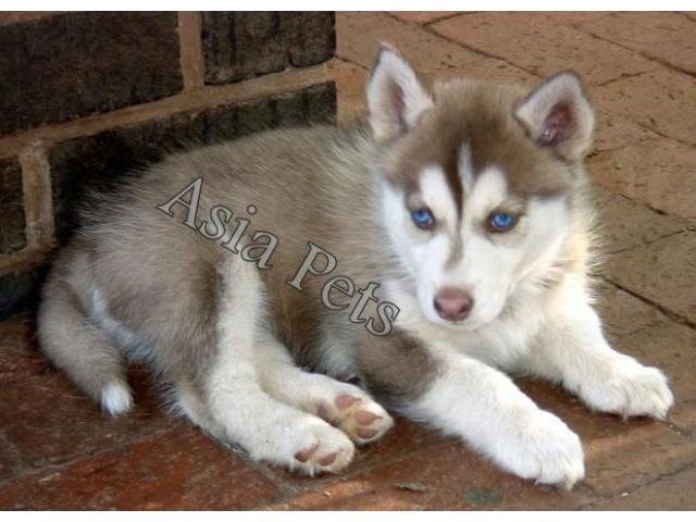 Siberian Husky Puppies Price In Bhopal Siberian Husky Puppies For