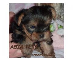 Yorkshire terrier puppies price in Bhopal , Yorkshire terrier puppies for sale in Bhopal