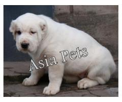 Alabai puppy price in Bhopal, Alabai puppy for sale in Bhopal,