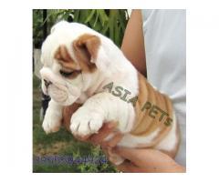 Bulldog puppy price in Bhopal, Bulldog puppy for sale in Bhopal,