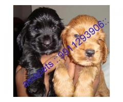 Cocker spaniel puppy price in Bhopal, Cocker spaniel puppy for sale in Bhopal,