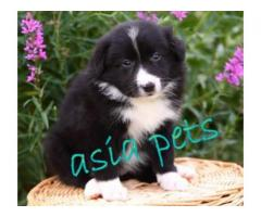 Collie puppy price in Bhopal, Collie puppy for sale in Bhopal,