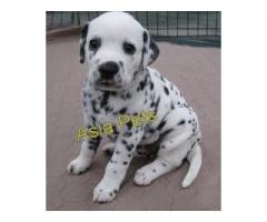 Dalmatian puppy price in Bhopal, Dalmatian puppy for sale in Bhopal,