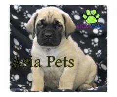 English Mastiff puppy price in Bhopal, English Mastiff puppy for sale in Bhopal,