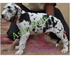 Harlequin great dane puppy price in Bhopal, Harlequin great dane puppy for sale in Bhopal,