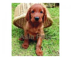 Irish setter puppy price in Bhopal, Irish setter puppy for sale in Bhopal,