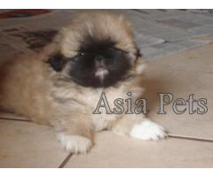 Pekingese puppy price in Bhopal, Pekingese puppy for sale in Bhopal,