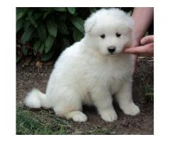 Samoyed puppyprice in Bhopal, Samoyed puppy for sale in Bhopal,