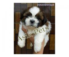 Shih tzu puppyprice in Bhopal, Shih tzu puppy for sale in Bhopal,