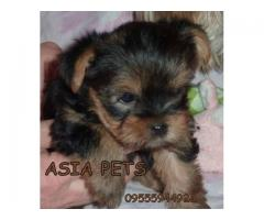 Yorkshire terrier puppy price in Bhopal, Yorkshire terrier puppy for sale in Bhopal,