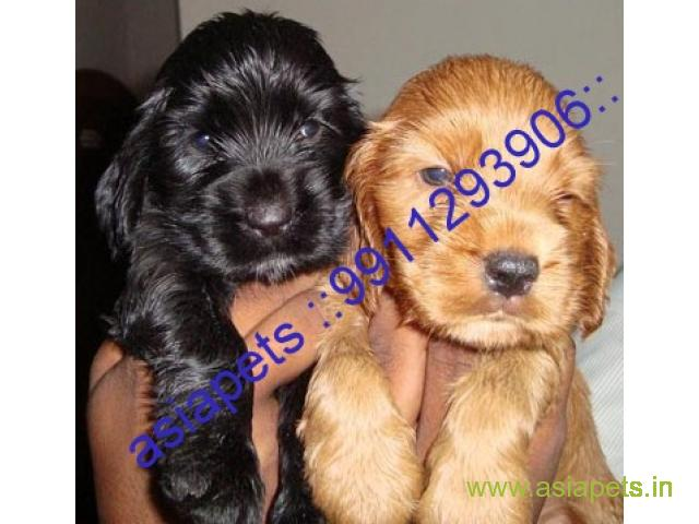 American Cocker spaniel puppies  for sale in indore on Best Price Asiapets