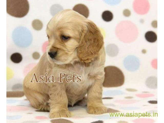 American Cocker spaniel puppies  for sale in Ranchi on Best Price Asiapets