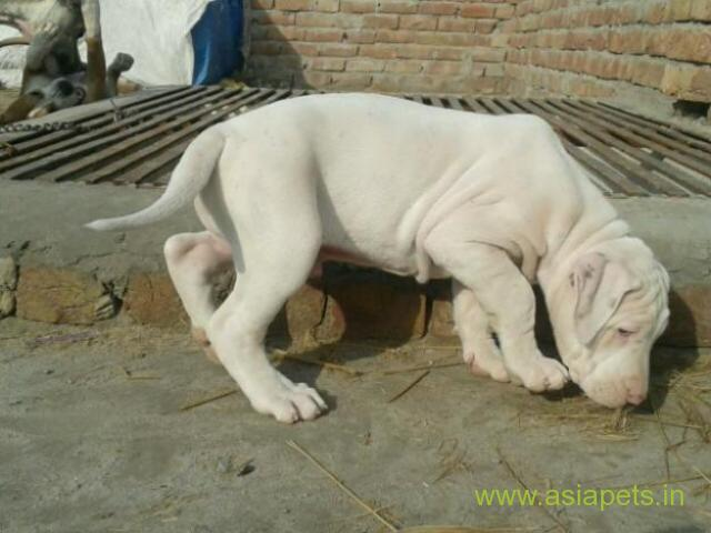 Pakistani Bully Puppies For Sale In Guwahati On Best Price Asiapets