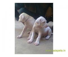 Pakistani bully puppies  for sale in Lucknow on Best Price Asiapets