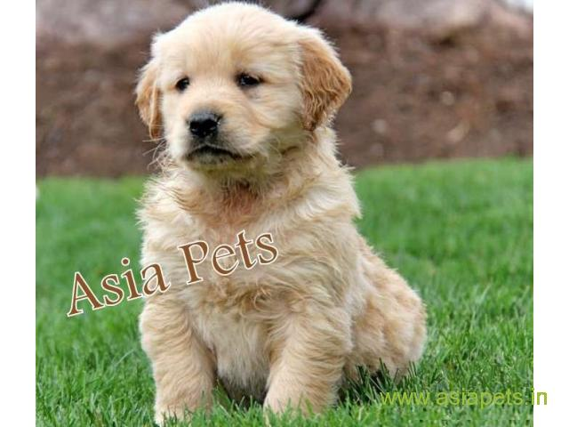 Golden Retriver Puppies For Sale In Bangalore On Best Price Asiapets