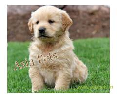 golden retriver puppies for sale in Bhopal on best price asiapets