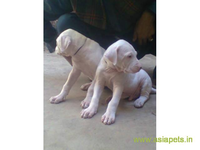 Pakistani bully puppies  for sale in patna on Best Price Asiapets
