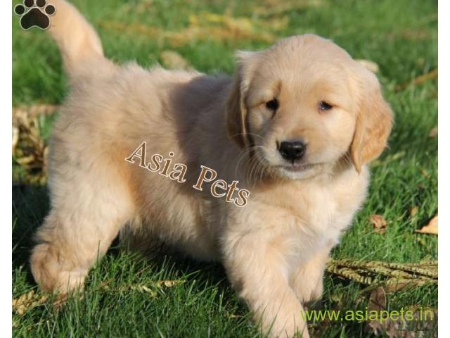 Golden Retriver Puppies For Sale In Vizag On Best Price Asiapets