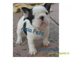 French bulldog puppies  for sale in Bhubaneswar on Best Price Asiapets
