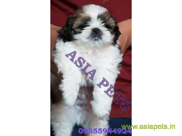 Shih tzu puppies  for sale in Bhopal on Best Price Asiapets