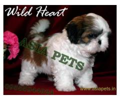 Shih tzu puppies  for sale in Delhi on Best Price Asiapets